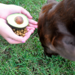 Avocado Benefits For Dogs
